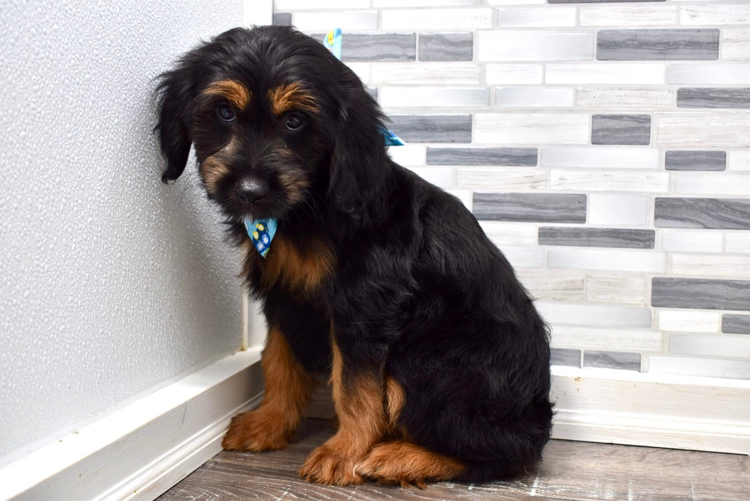 Will Male Mini Aussiedoodle Puppy
