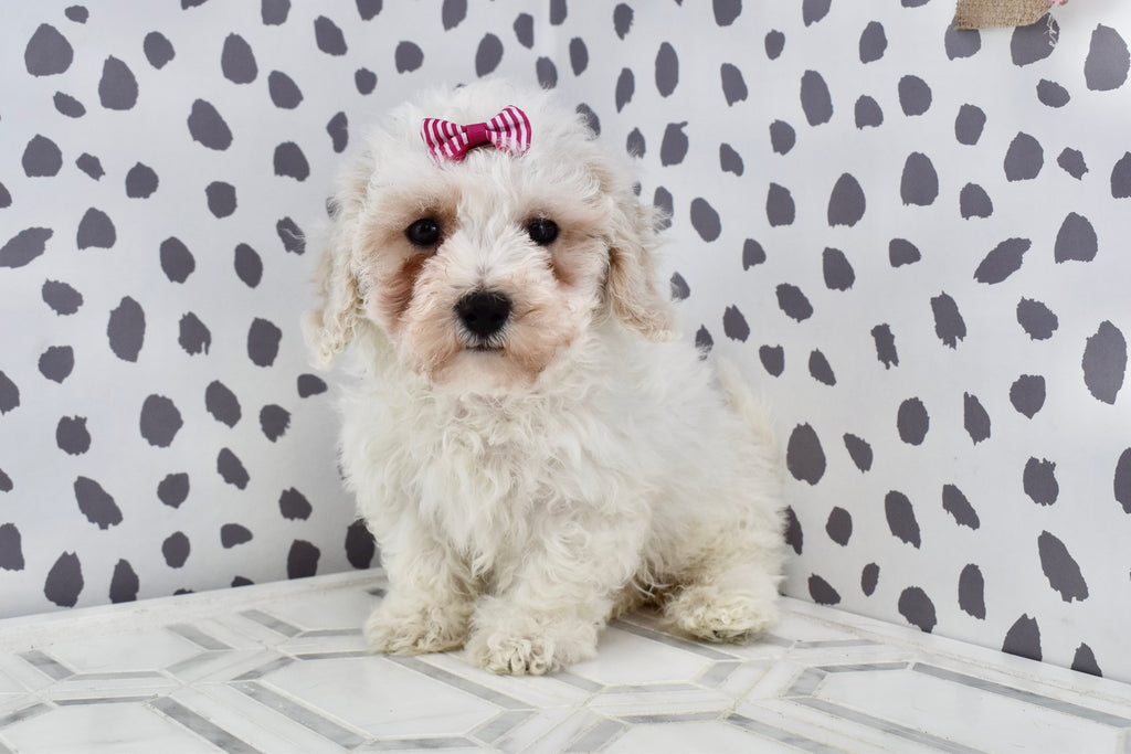 *RESERVED* Burgundy Female Teacup Forever Puppy