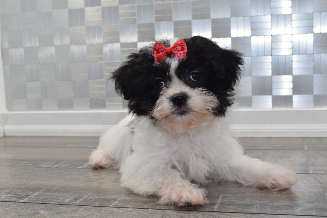 Reba Female Teacup Teddy Bear Puppy