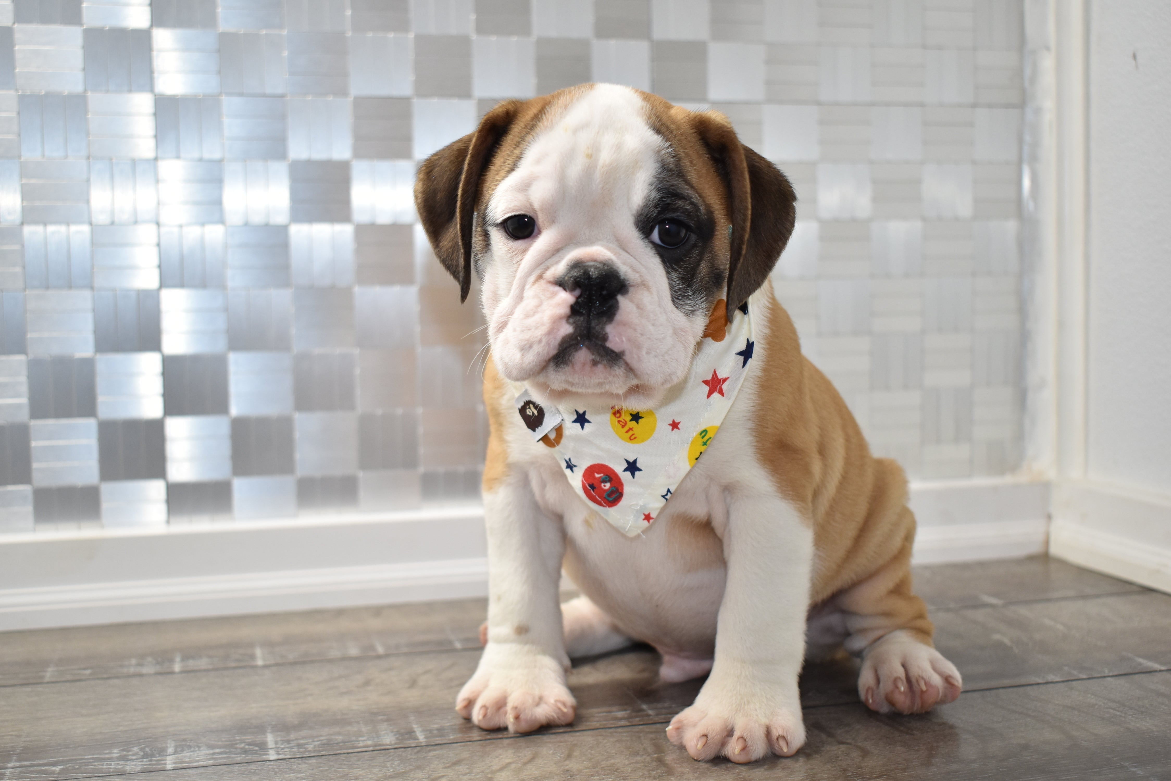 *RESERVED* Augie Male Miniature Bulldog Puppy
