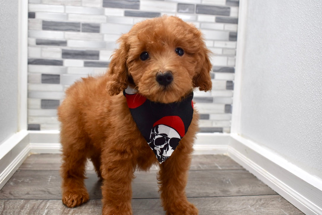 Reserved Abraham Male F1b Mini Goldendoodle Puppy