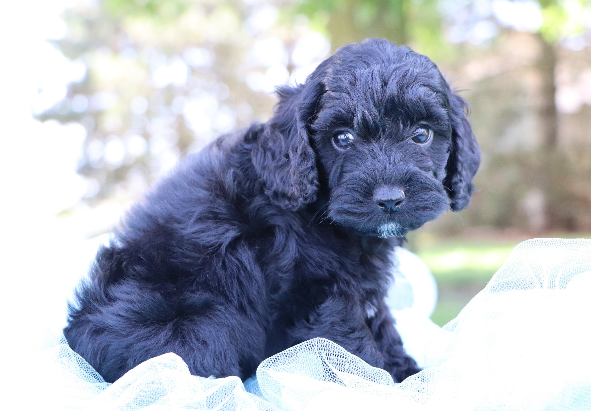 *RESERVED* Peru Male Miniature Cockapoo Puppy