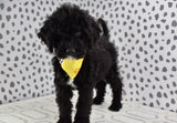 *RESERVED* Mango Male F1B Mini Bernedoodle Puppy