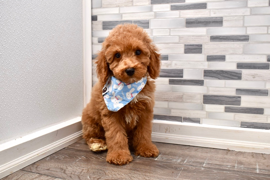 *RESERVED*Clay Male F1B Micro Mini Goldendoodle Puppy