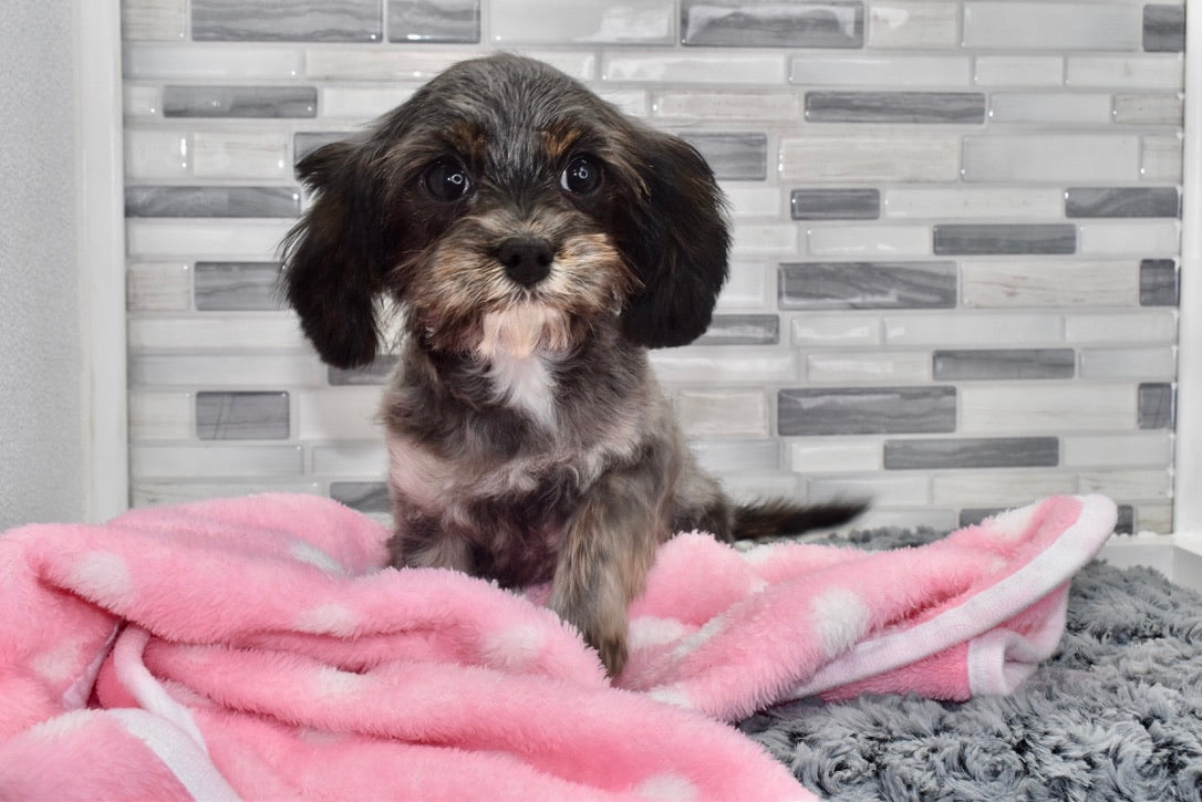 *RESEREVD* Ansley Female *PRE-TRAINED* Cavapoo Puppy
