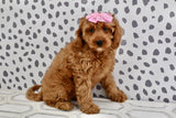 *RESERVED* Gully Female F1B Cavapoo Puppy
