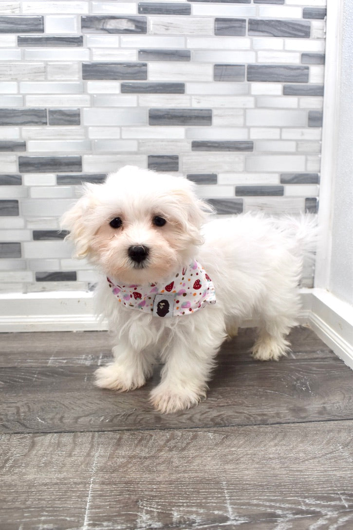 *RESERVED*Beluga Male Toy Maltese Puppy