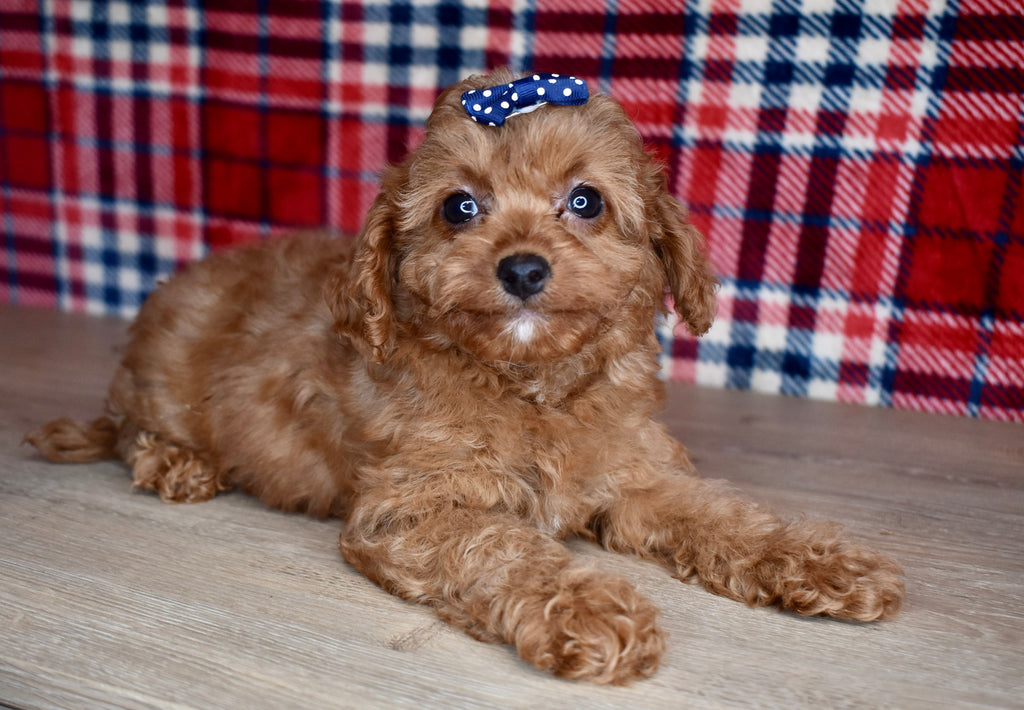 Cavapoo Puppies For Sale Happytail Puppies Family Dog Breeders Nc