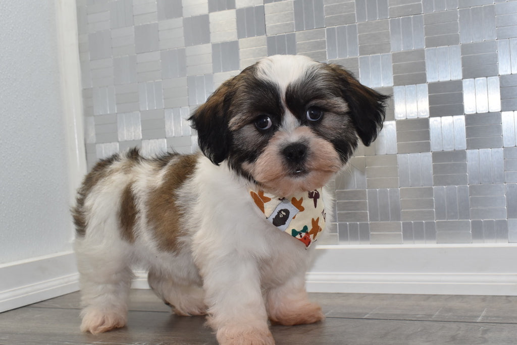 Rolex Male Teacup Teddy Bear Puppy