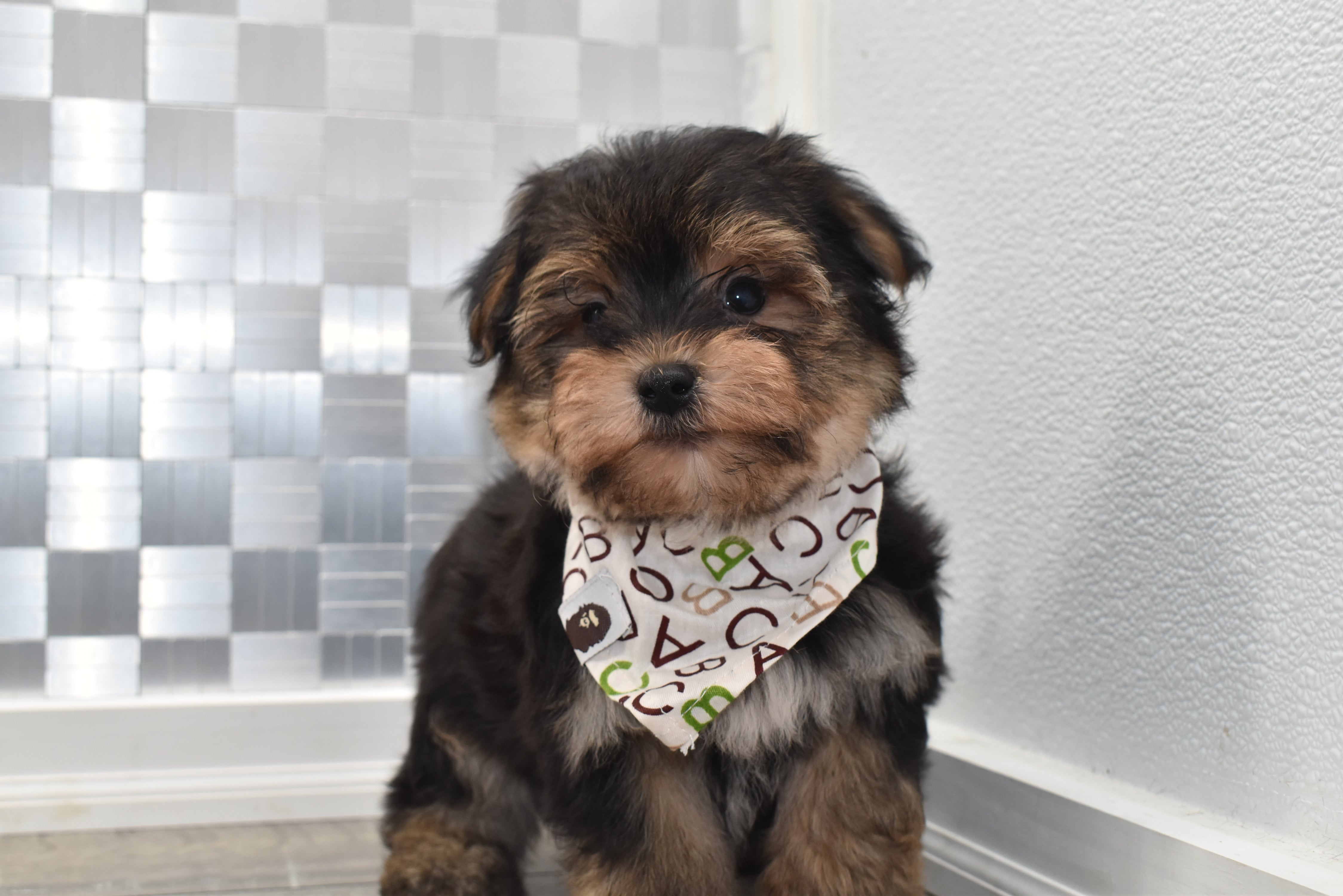 *RESERVED*Kurt Male Teacup-Toy Yorkichon Puppy