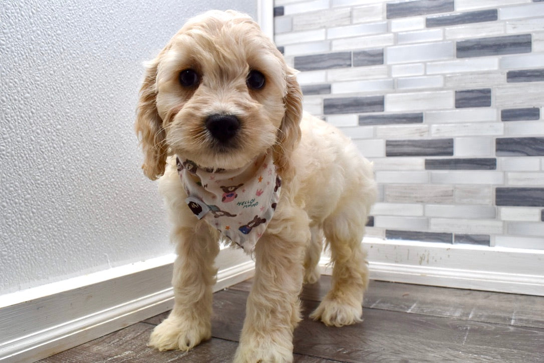 *RESERVED* Curt Male Miniature Cockapoo Puppy