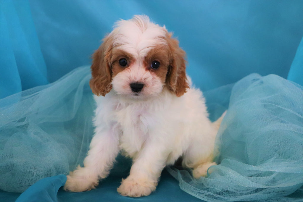 Cavapoo Puppies For Sale | Happytail Puppies | Family Dog