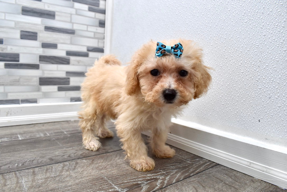 *RESERVED* Beverly Female F1B Bichpoo Puppy