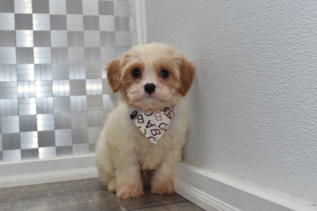 *RESERVED* Adrian Male Cavachon Puppy