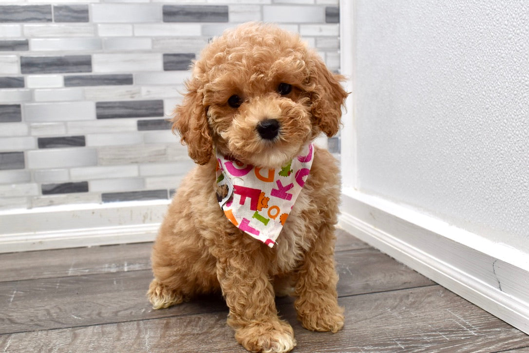 *RESERVED*Orchid Female Poodle Puppy