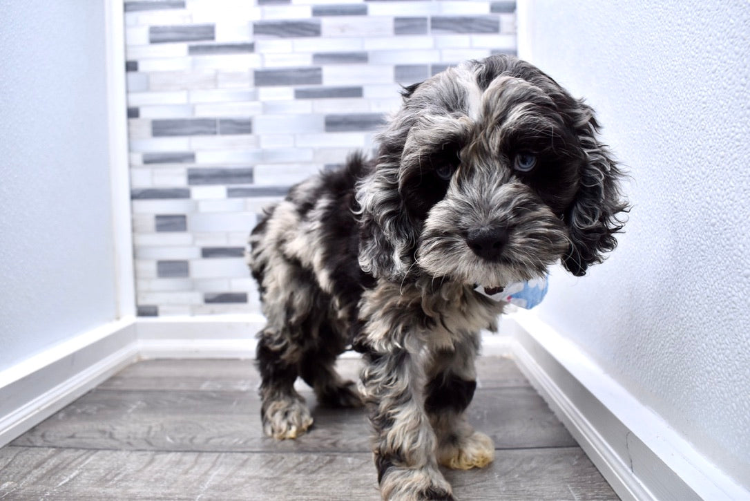 *RESERVED*Admiral Male Merle Mini Cockapoo Puppy