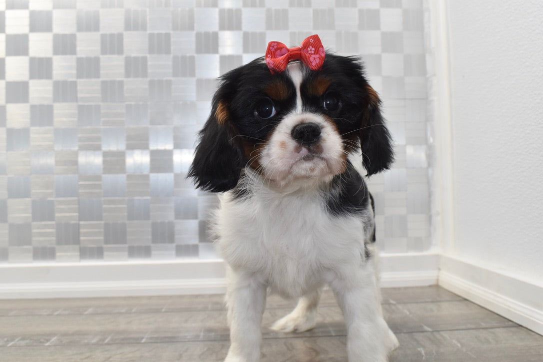 *RESERVED*Clarice Female Cavalier King Charles Spaniel Puppy