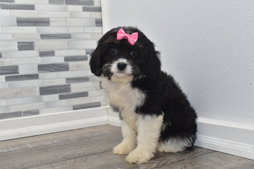 Angelina Female Cavapoo Puppy