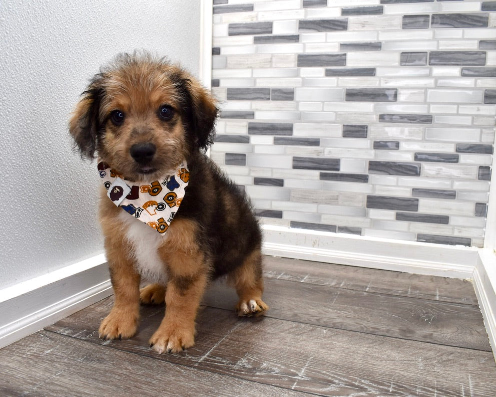 *RESERVED* Gelato Male Mini Aussiedoodle Puppy