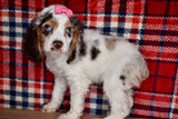 *RESERVED* Crissy Female F1B Cockapoo Puppy