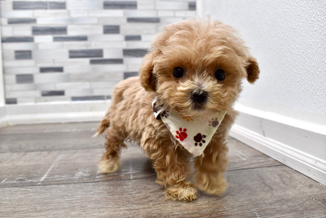 *RESERVED* Janice Female F1B Maltipoo Puppy