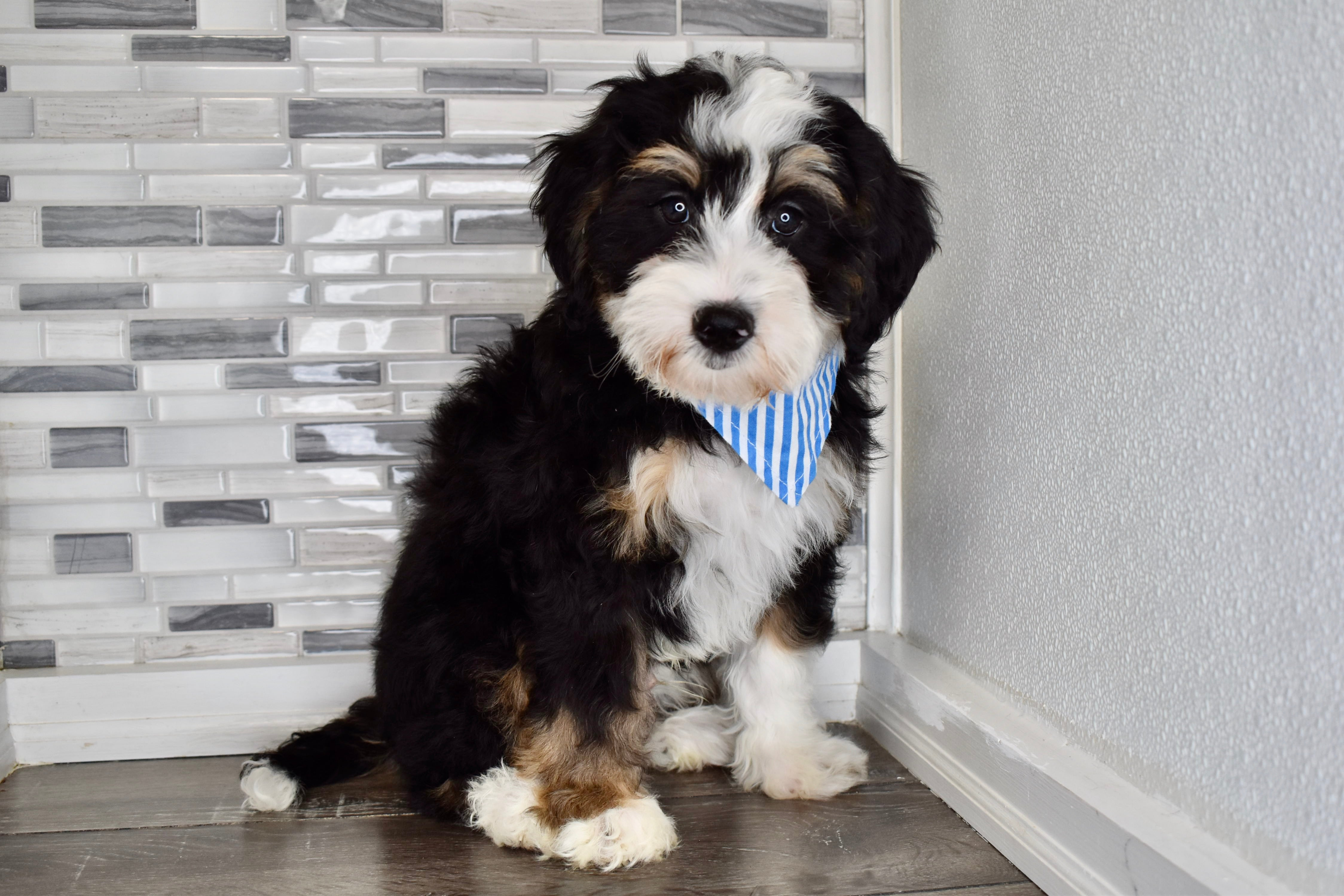 *RESERVED* Gnocchi Male F2 Mini Bernedoodle Puppy