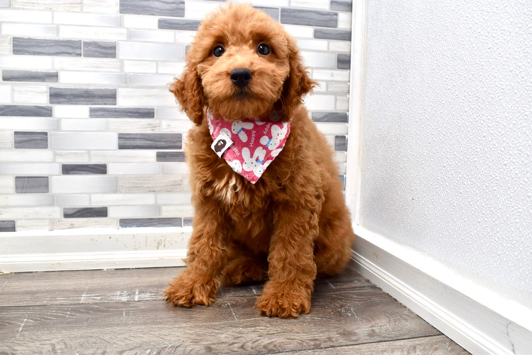 *RESERVED* Parsley Male Miniature F2 Goldendoodle Puppy