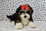 *RESERVED*Brianna Female F2 Mini Bernedoodle Puppy