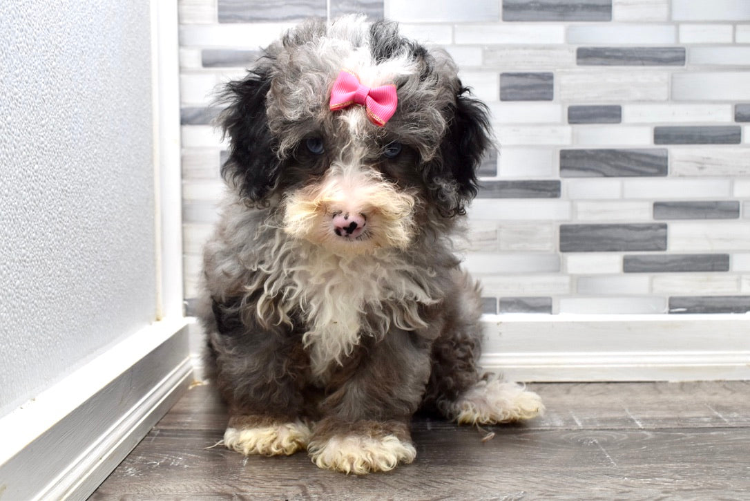 Florence Female F2 Mini Bernedoodle Puppy