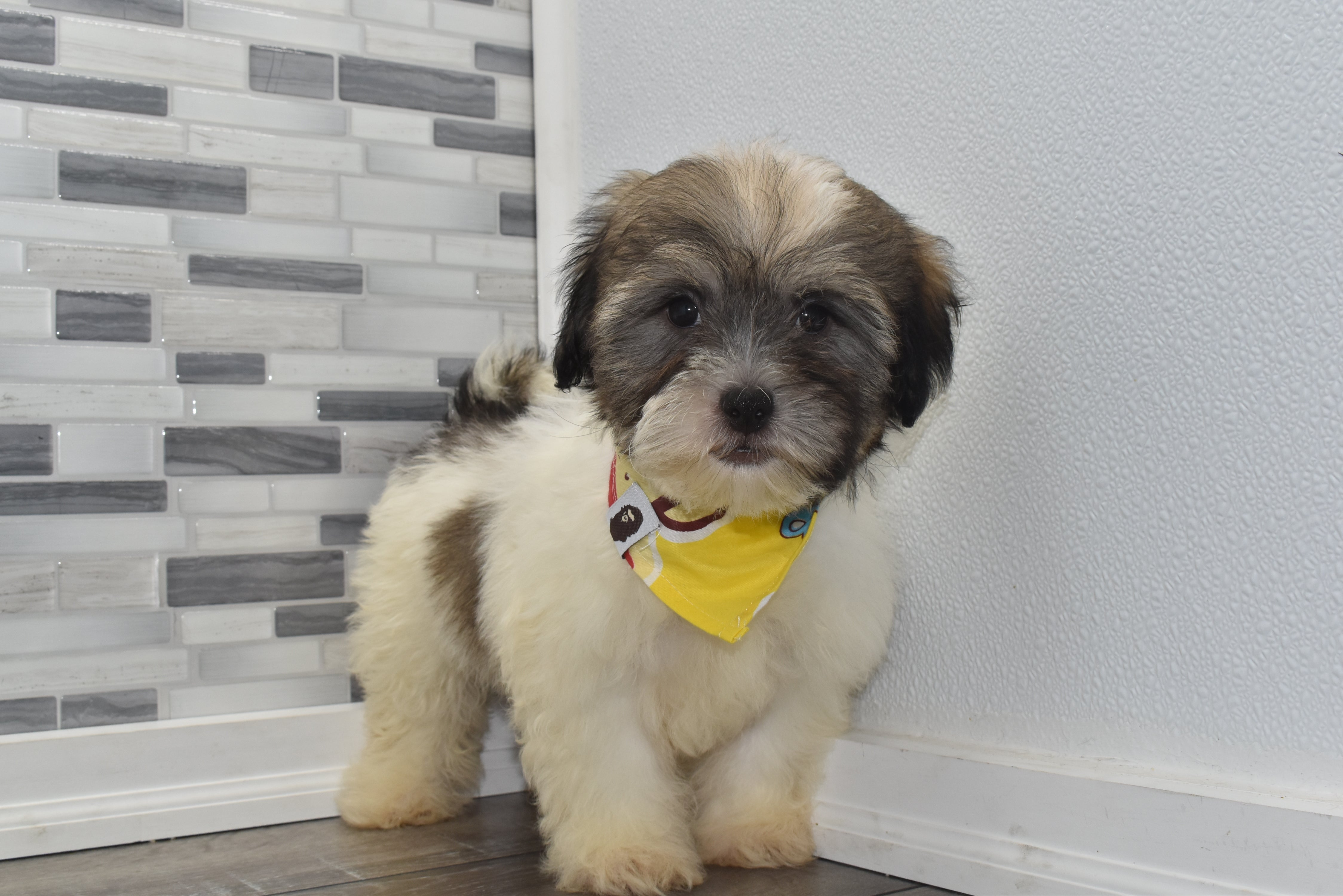 *RESERVED* Napoleon Male Teacup Teddy Bear Puppy