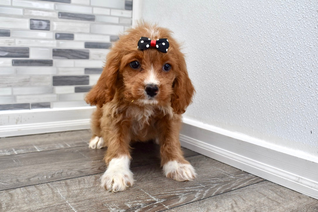 *RESERVED* Shelly Female Cavacockapoo Puppy