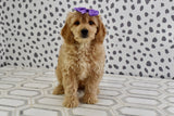 *RESERVED* Sugar Female F1B Mini Goldendoodle Puppy