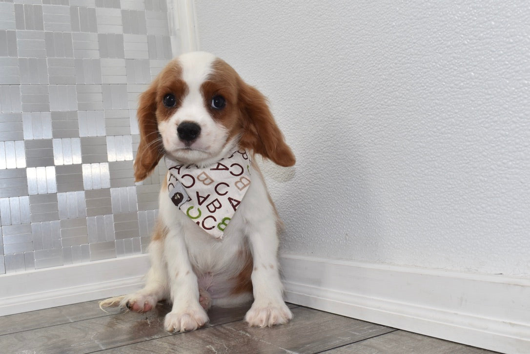 Oatmeal Male Cavalier King Charles Spaniel Puppy