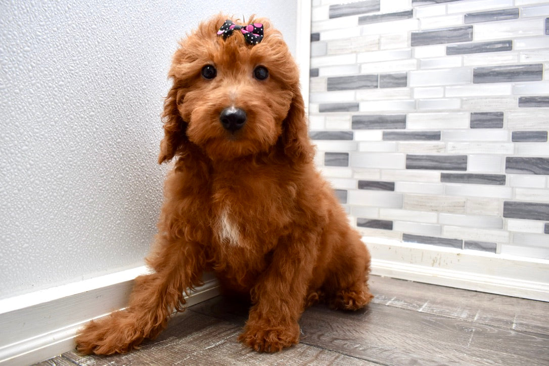 *RESERVED*Danica Female F1B Mini Irishdoodle Puppy