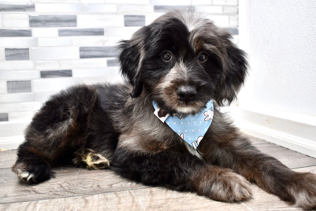 *RESERVED*Kurt Male Merle Mini Aussiedoodle Puppy