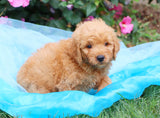 Carter Male Mini Goldendoodle Puppy*