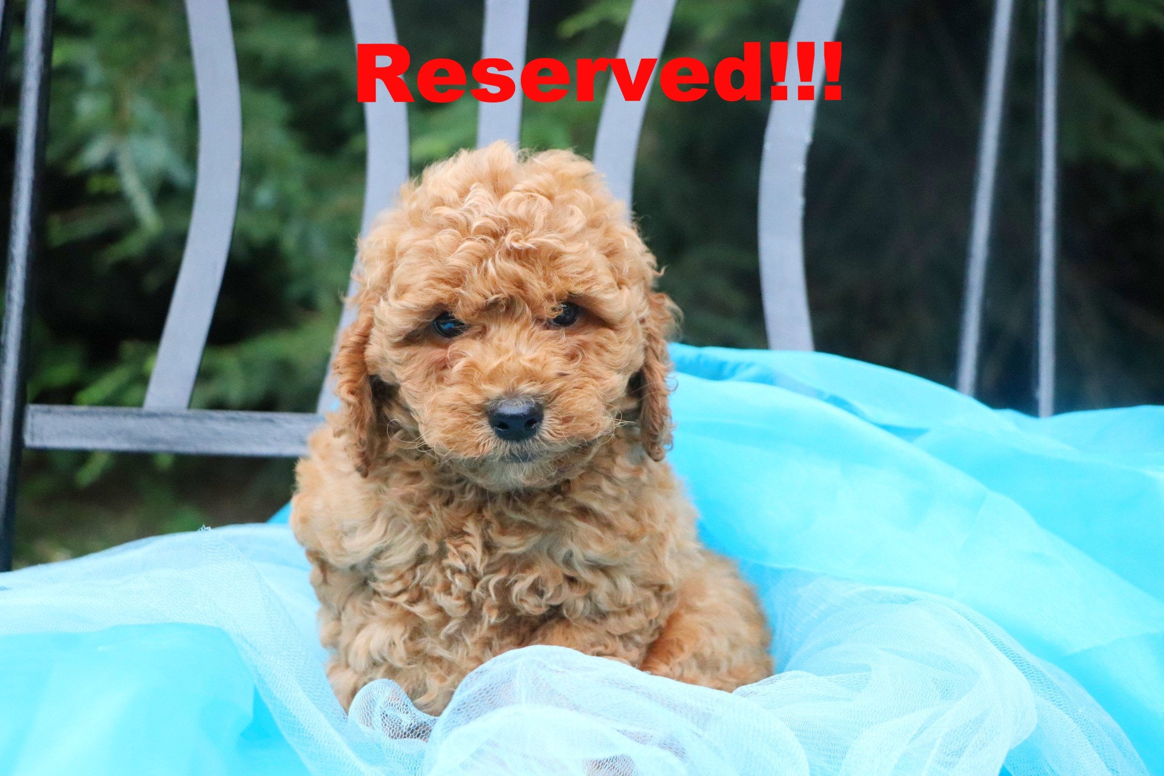 Ollie Male Micro Mini Goldendoodle Puppy