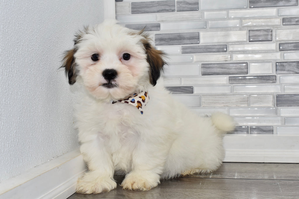Toto Male Teacup Teddy Bear Puppy