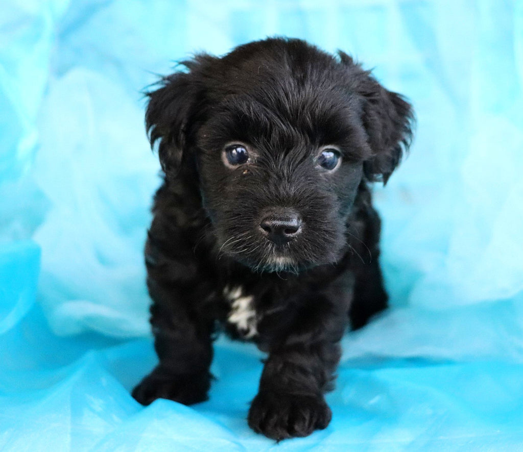 Aiden Male Teacup Yorkie Poo Puppy*