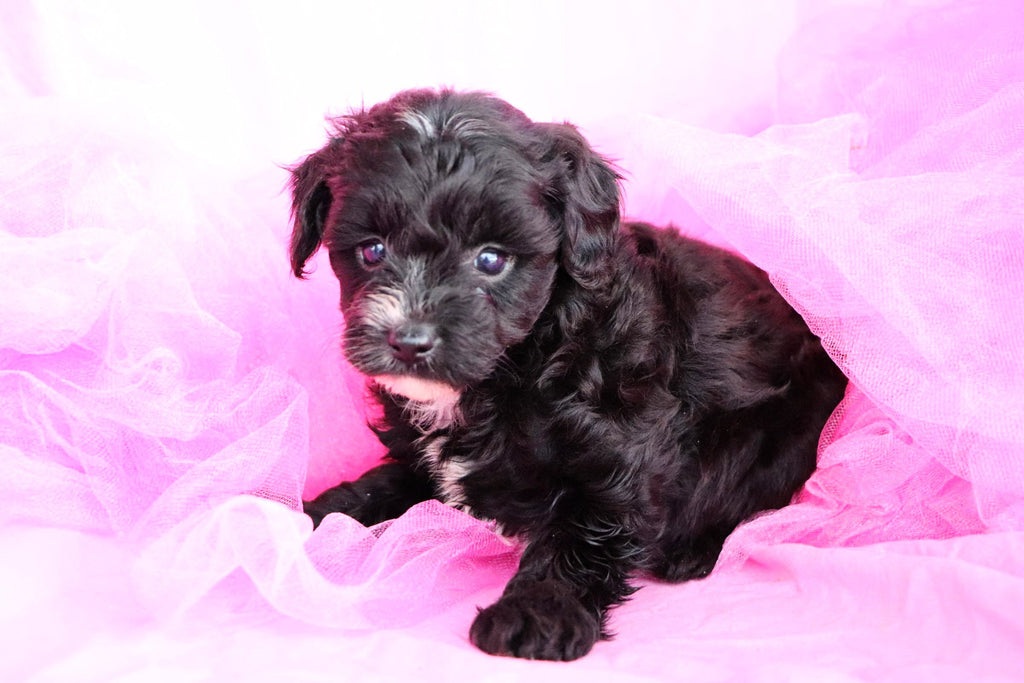 Butterfly Female Teacup Yorkie Poo Puppy*