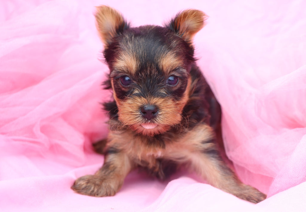 All Puppies For Sale | Happytail Puppies | Family Dog Breeders in NC