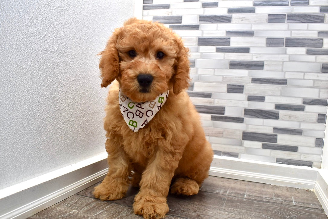 *RESERVED* Bob Male F1B Mini Goldendoodle Puppy