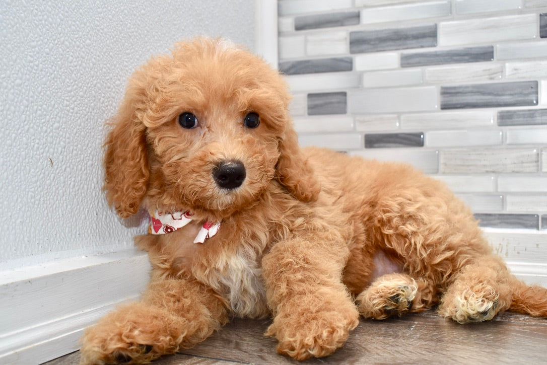 *RESERVED* Lion Male F2 Mini Goldendoodle Puppy
