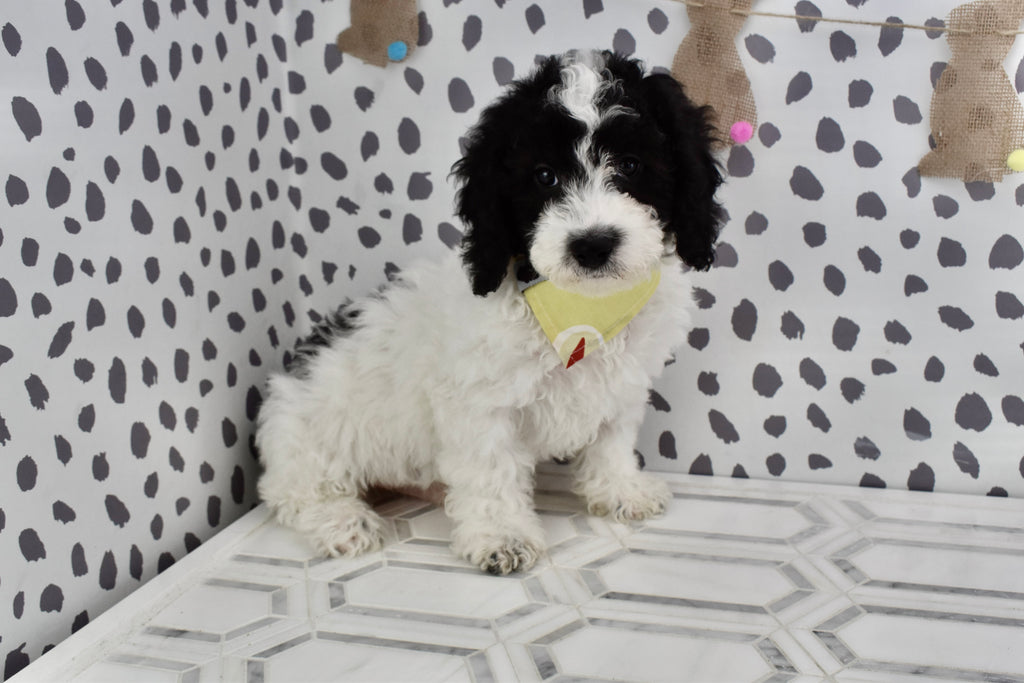 *RESERVED* Barkley Male F1B Micro Mini Sheepadoodle Puppy