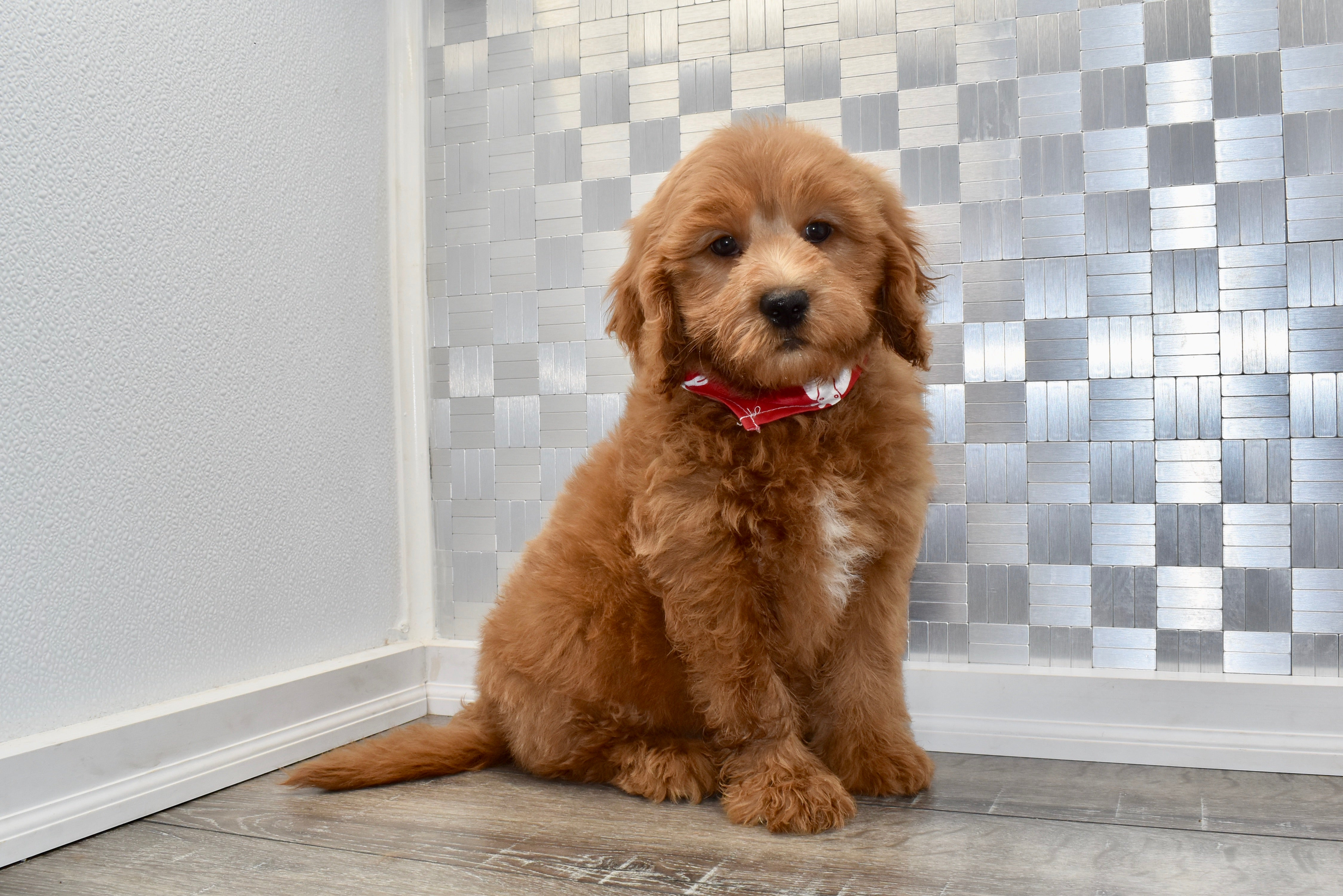 Reservednolan Male F1b Miniature Goldendoodle Puppy