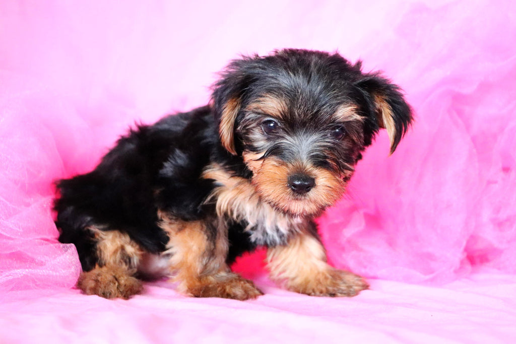 Feather Female Teacup Yorkie Puppy