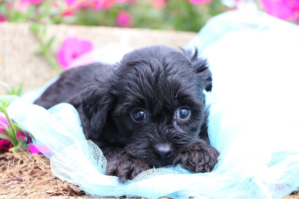 Akito Male Teacup Yorkie Poo Puppy*