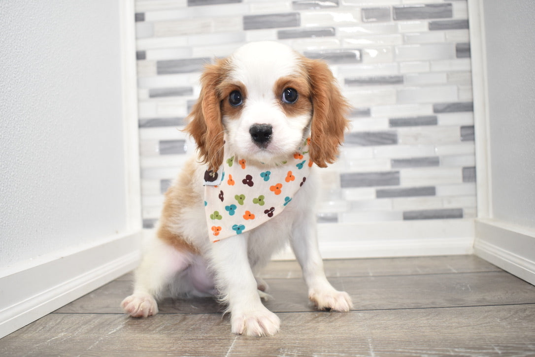 *RESERVED*Lionel Male Cavalier King Charles Spaniel Puppy