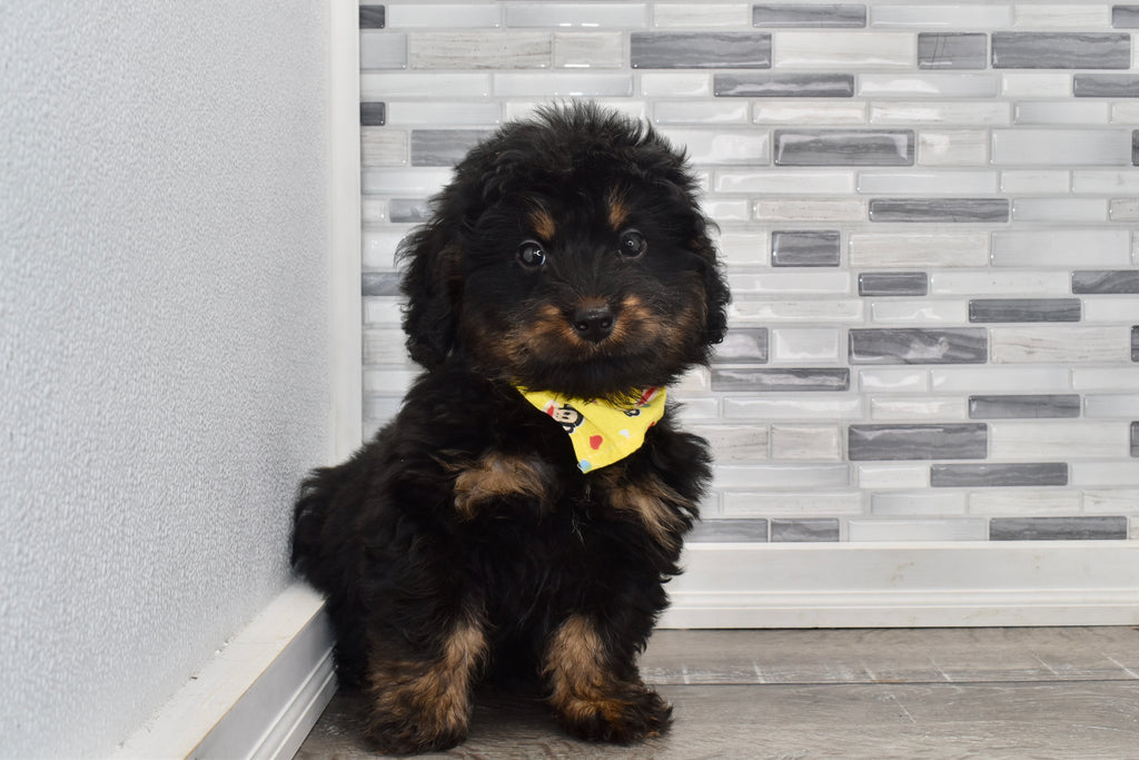 Gaines Male Mini Bernedoodle Puppy