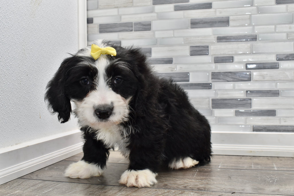 Lucille Female F2 Mini Bernedoodle Puppy